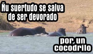 Hipopótamos salvan a Ñu de ser devorado por un cocodrilo – Video Viral